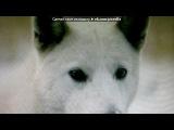 «Со стены белый клык» под музыку Питбуль и Марк Энтони  - Rain Over Me  . Picrolla
